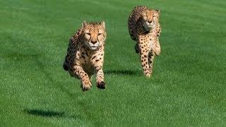 Houston Zoo Cheetahs Run at Sam Houston Race Park!