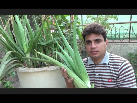 How to Take Care of a Aloe Vera Plant | Large Aloe Vera Plant | Plant Ko Repot Kese Kia Jay