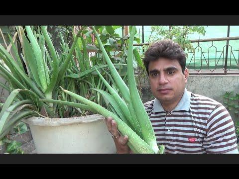 How to Take Care of a Aloe Vera Plant  Large Aloe Vera Plant  Plant Ko Repot Kese Kia Jay