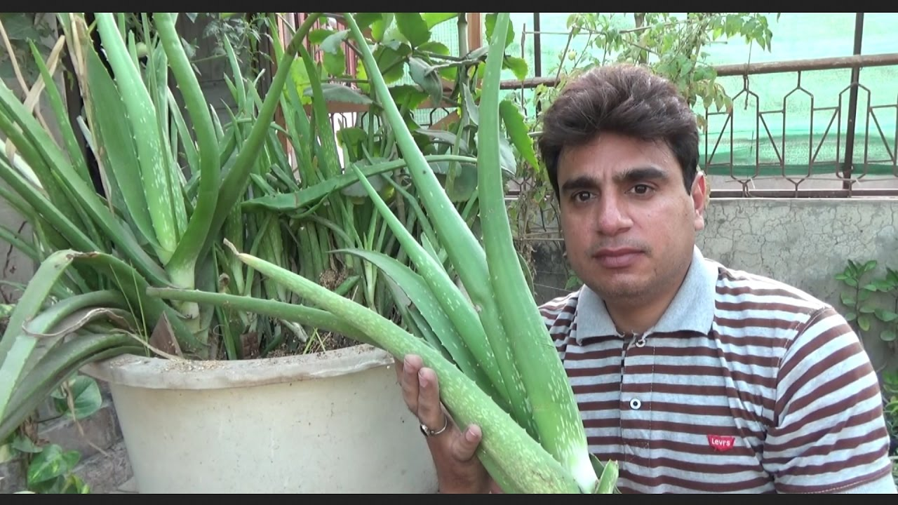 How to Take Care of a Aloe Vera Plant