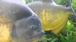 Piranha Fütterung beim Kölle Zoo Ludwigshafen