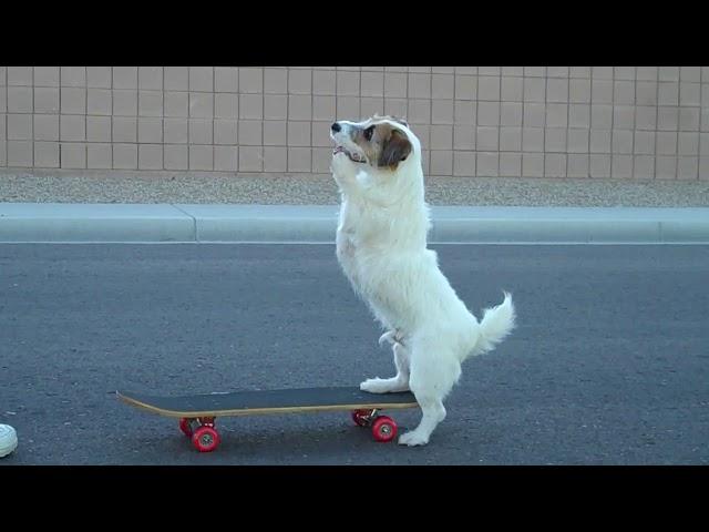 Jesse Skateboards like a Human! Amazing Dog Trick~