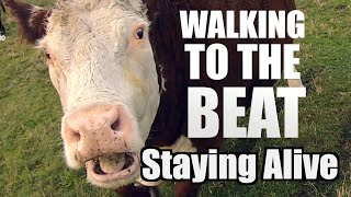 Animals walking to the beat / Staying Alive