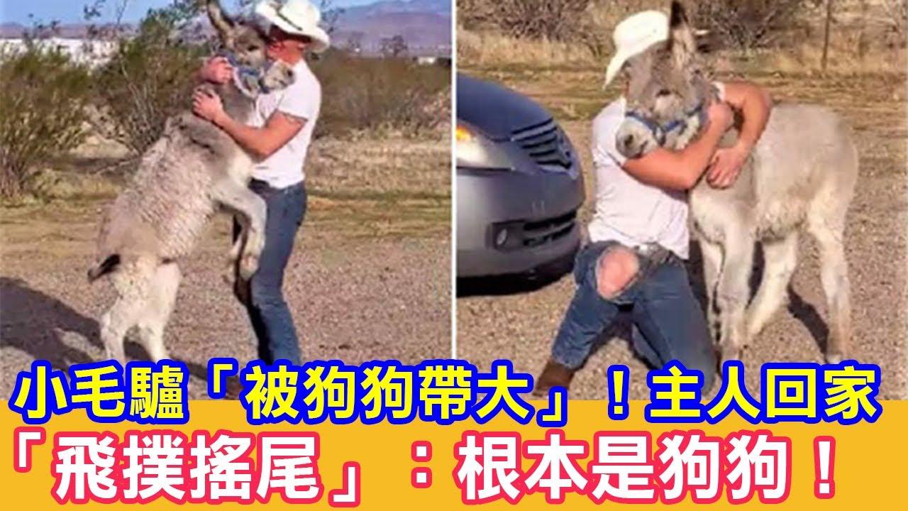 小毛驢「被狗狗帶大」!主人回家「飛撲搖尾」:根本是狗狗! 狗狗故事