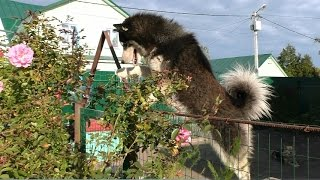 Сибирский Хаски, Ну возьмите Меня