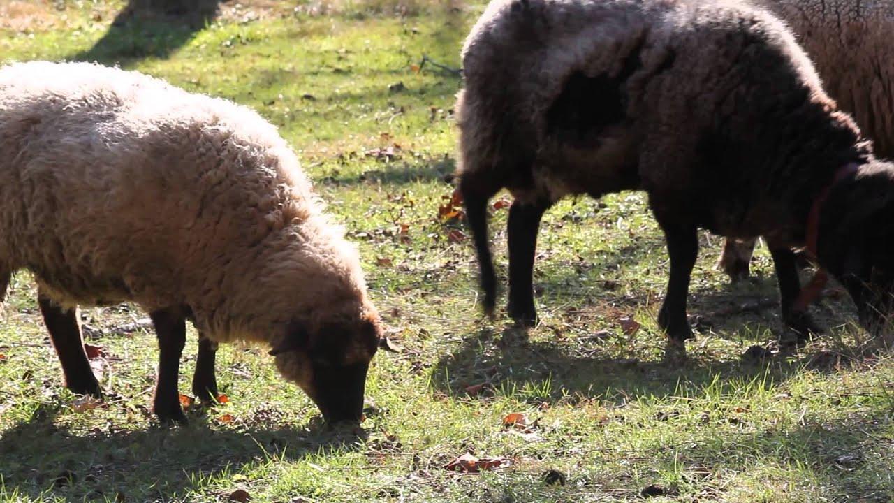 hog island horned dorset sheep at the plantation youtube