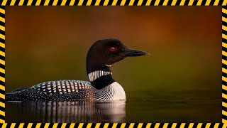 Animal Loon Sound Effect Free Download | MP3 WAV | Pure Sound Effect