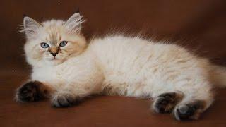 сибирская кошка описание породы содержание и уход