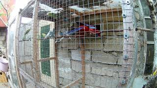 попугаи в вольерах  Розелла Пинантовая и Волнистые попугаи