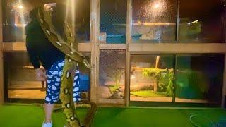 アミメニシキヘビに日常行っている飼育シーンの一部を動画にしました。 □Instagram□ https://www.instagram.com/lounge1212/ □動画作成 田舎でGO(税込み)□ ...