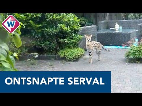 Ontsnapte serval duikt op in tuin en bijt konijn dood – OMROEP WEST
