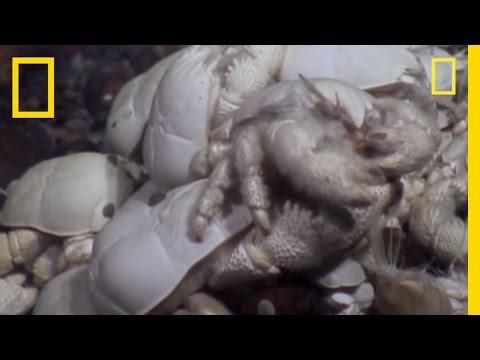 Cangrejo Yeti. El albino peludo de las profundidades oceánicas
