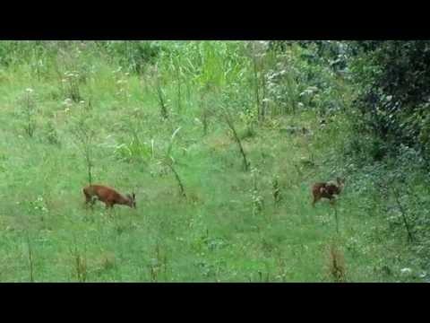 Roe deer - Nature Reserve De Blankaart, Belgium