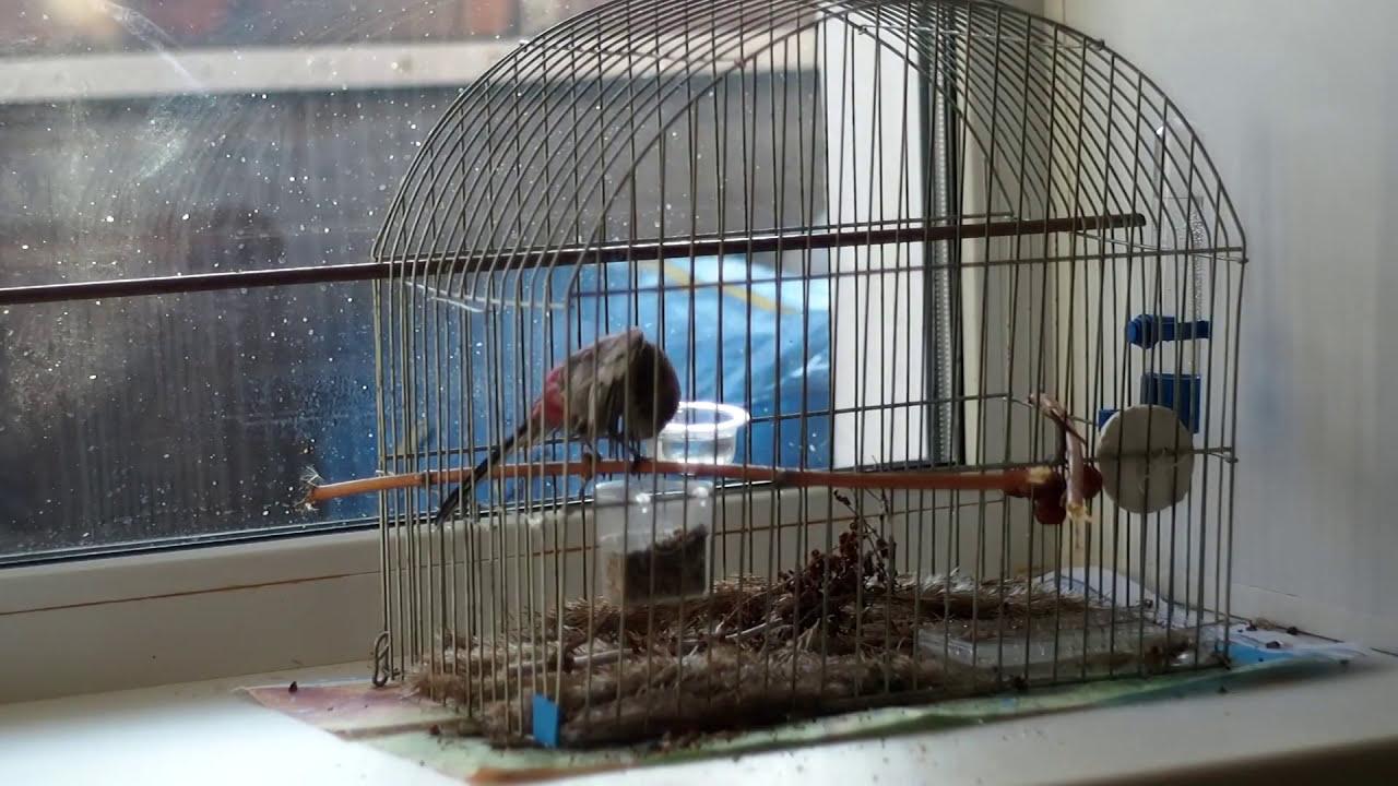 Урагус дома. Новые увлечения птицы: купание. И ответ на вопрос: как спят птицы.