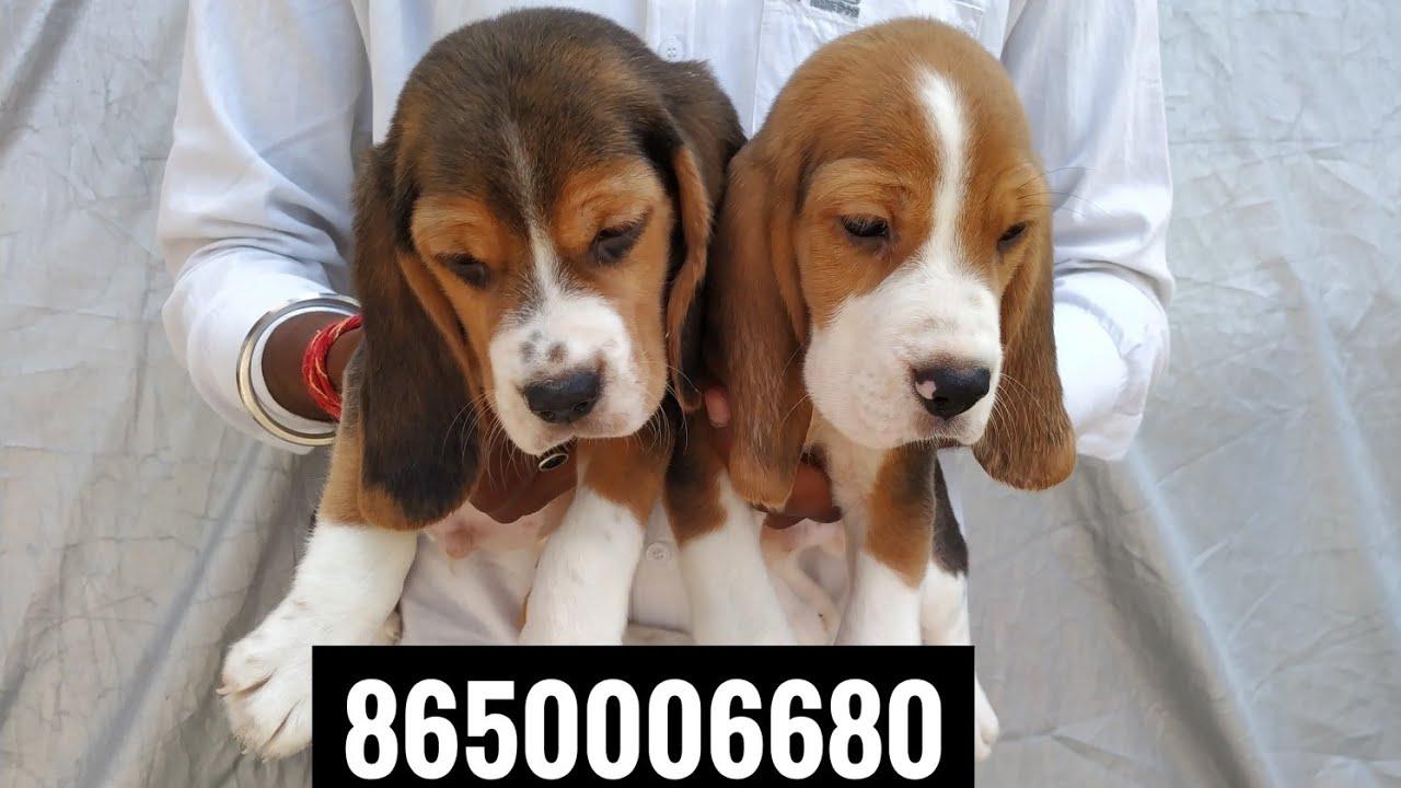 Pet Care Dog Beagle Puppy For Sale 8650006680 In Dehradun