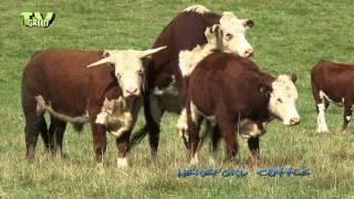 Hereford cattle , Veluwe - Grote grazers op de Posbank