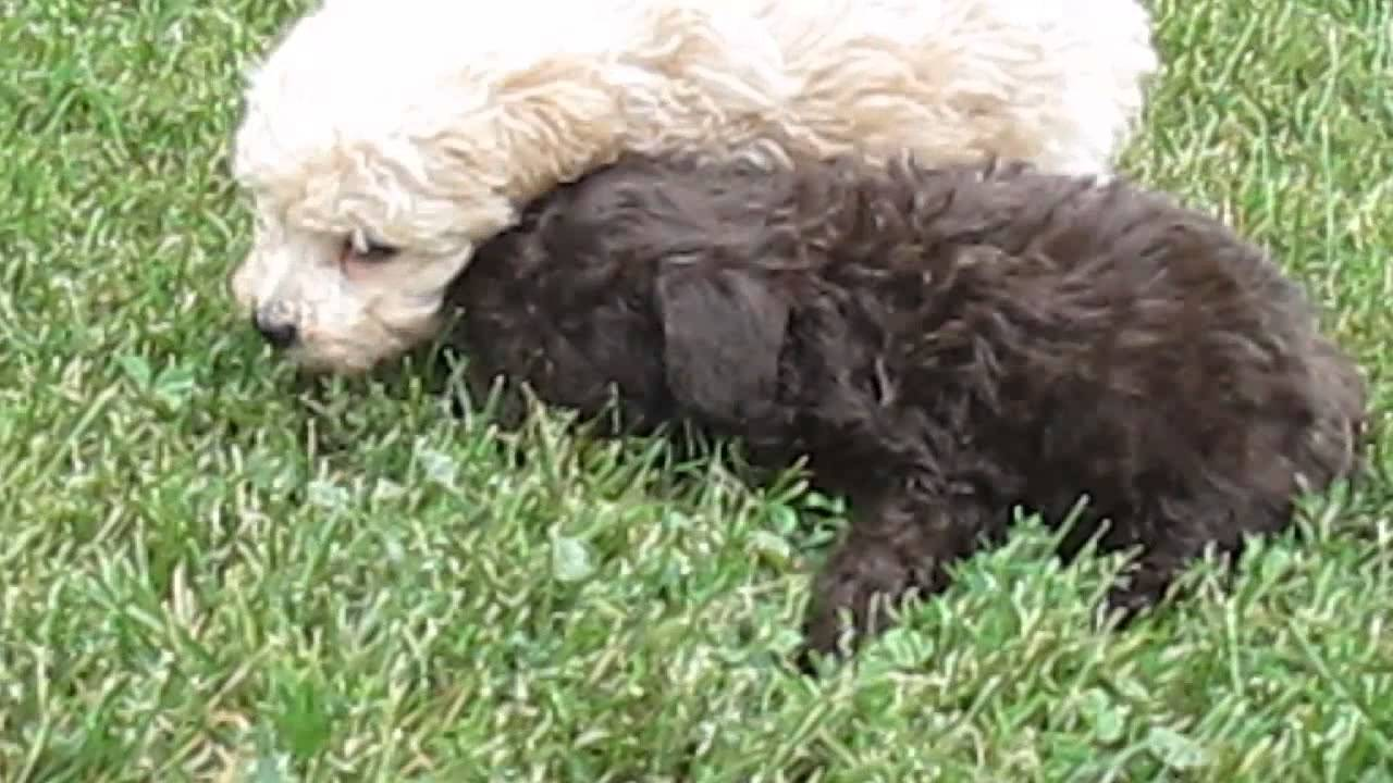 Miniature Poodle Puppies For Sale In PA