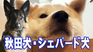 grandchild and German Shepherd dog Akita Inu 朝散歩を終えて二度寝か...