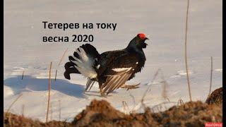 Охота на тетерева весной 2020 из шалаша. Тетеривиный ток