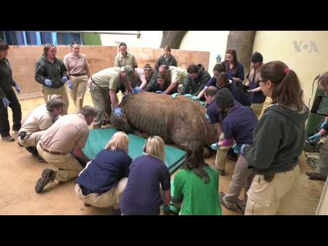 Black Rhino Gets CT Scan in Chicago