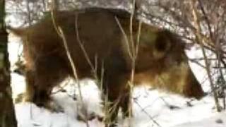Ratujmy dziki zielona gora przeciwko zwierzeta! tak sie nie robi!!