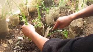 Cultivo de ajos Sembrando en casa
