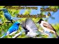 Suara Pikat Burung Kutilang Dan Selendang Biru Di Jamin Lengket  Mp3 - Mp4 Download