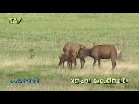 Wapiti & baby's in Yellowstone National Park - elk - cervus canadensis #03