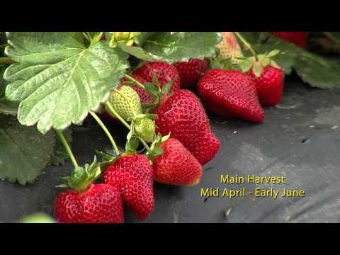 7b. Strawberry Varieties (English)