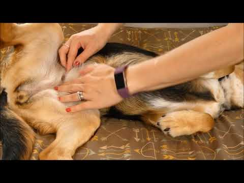 How To Tell If Your Dog Is Pregnant Without Dog Pregnancy Test Youtube
