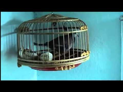 Suara burung tekukur gacor untuk mp3