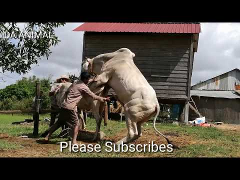 How To Breds Cows In Brazil - Amazing Man Breed Cow Naturally In Country