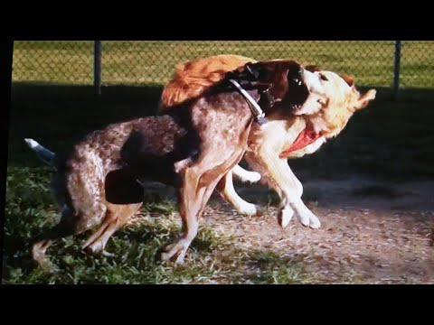 German Shorthaired Pointer vs Golden Retriever, How Not To Make Friends At The Dog Park