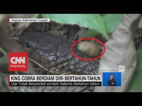 Heboh Penemuan King Kobra Berjambul Kuning, Diam Bertahun-tahun
