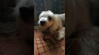 Китайская хохлатая. Злая собака. Милый зверь