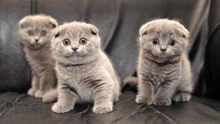 Котята, Роды ОНЛАЙН, кошка шотландская вислоухая