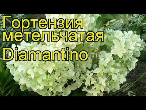 Гортензия метельчатая Диамантино. Краткий обзор, описание hydrangea paniculata Diamantino