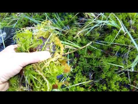 Собираем мох для рассады