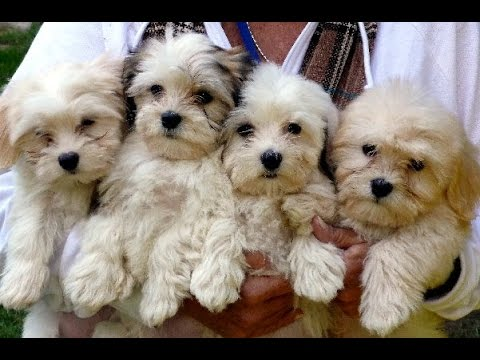 Top 5 Cutest (Hybrid Dog) Breeds