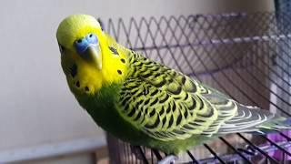 Волнистый попугай Кеша разговаривает и возмущается