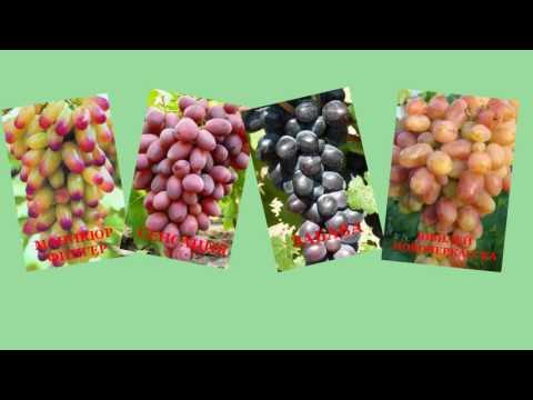 Интернет магазин лучших сортов винограда. Маникюр Фингер, Велес, Сенсация, Фурор, Голд Фингер