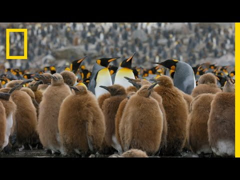 Go Inside an Antarctic 'City' of 400,000 King Penguins — Ep.