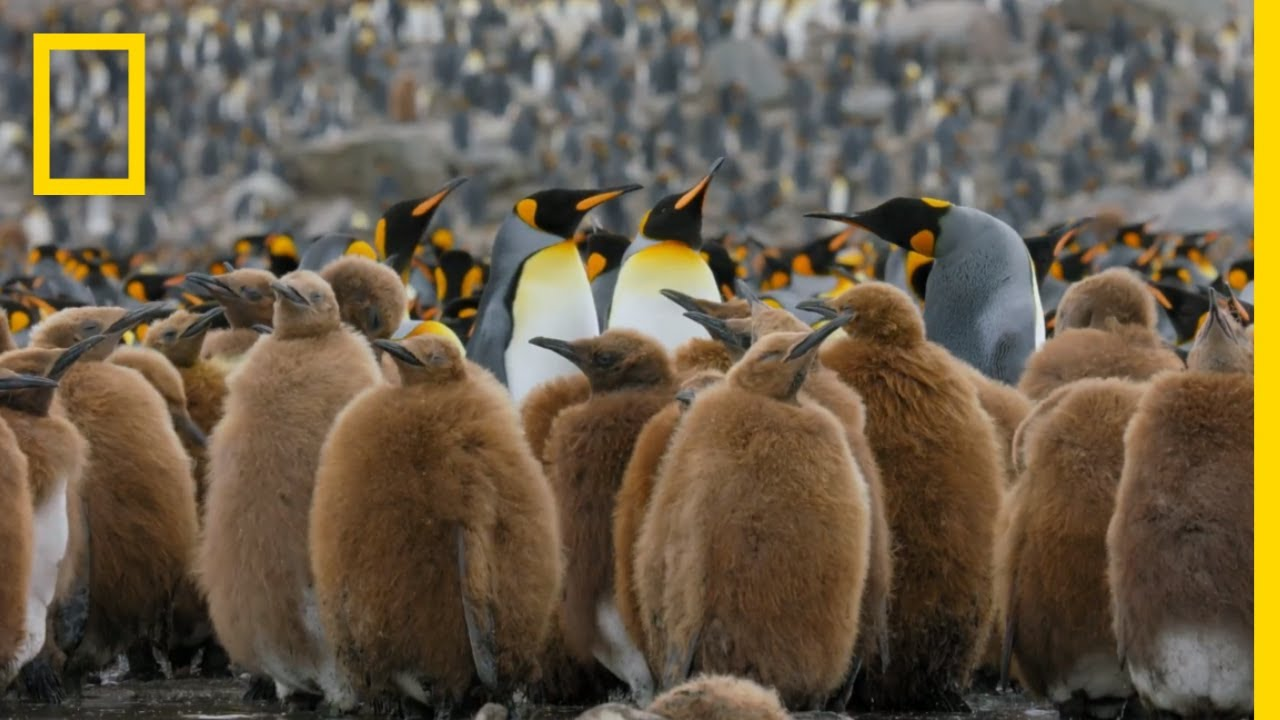Go Inside an Antarctic 'City' of 400,000 King Penguins — Ep. 4 | Wildlife: Resurrection Is
