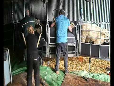 Shepherdease 3 Stand Shearing Trailer Wmv Youtube