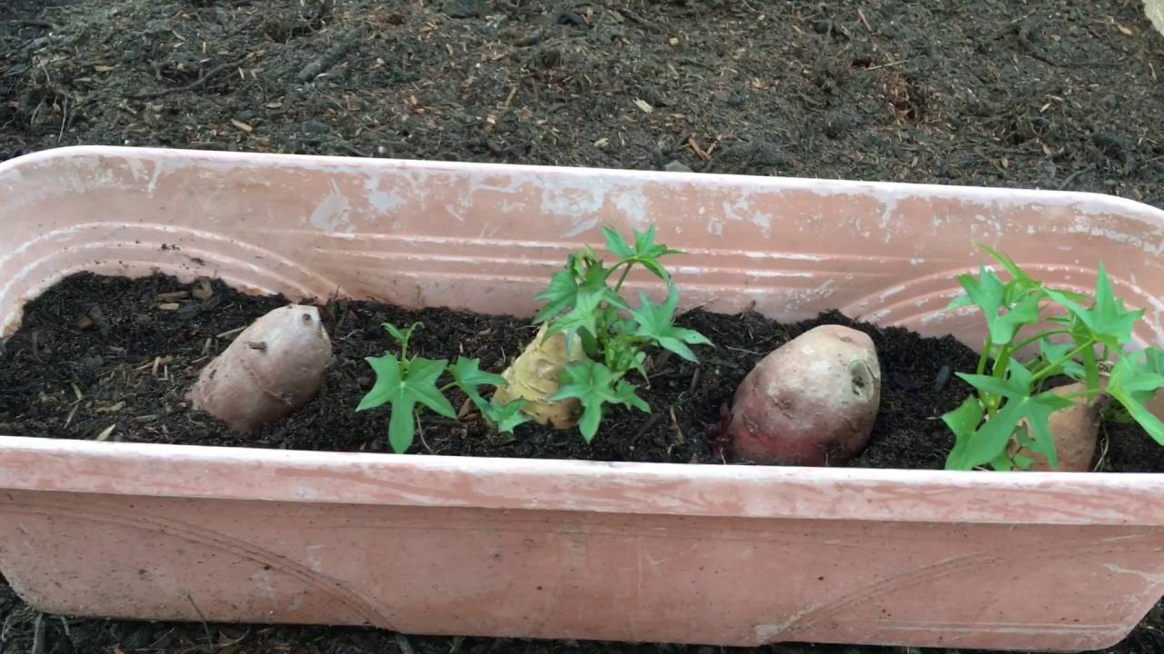 How To Grow Sweet Potatoes On A Container You