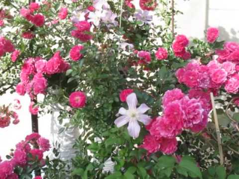 Комнатные розы живут в саду