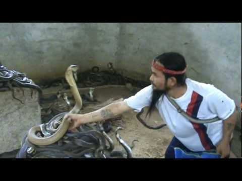 Man Selecting Cobras For Snake Show. Selection of snakes for the