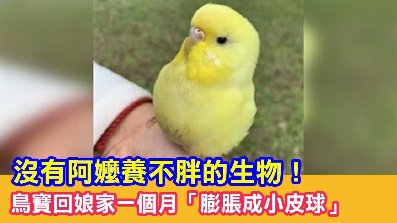 沒有阿嬤養不胖的生物!鳥寶回娘家一個月「膨脹成小皮球」|貓咪搞笑