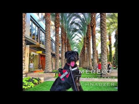 Merlot 10mo Giant Schnauzer~ Best Giant Schnauzer K9 Training Phoenix~ Service Dog Training