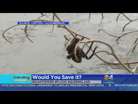 Trending: Giant Spider Rescued From Floodwaters
